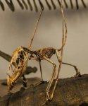 Dimorphodon.jpg