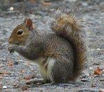 squirrel-gray.jpg